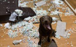 【大惨事w】初めてサークル無しでお留守番してた犬、ご主人を出迎える表情が素敵すぎ