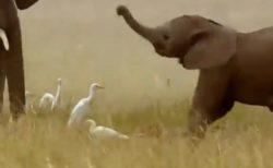 【w】ブーンブンブン!鼻を振り回しまくる赤ちゃんゾウと動じない鳥たちが話題