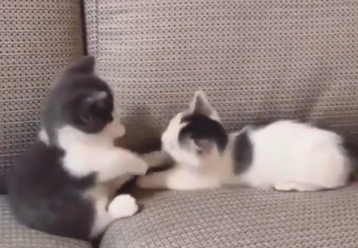 2匹の子猫がじゃれあってるだけの動画‥見てるだけで和むと話題