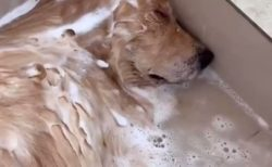 【レア動画】気持ちよすぎてシャンプー中に爆睡している犬、カワイイw