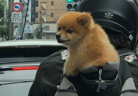 【おんぶ】バイク運転するご主人の背中にちょこんと座るわんちゃんが激かわ!