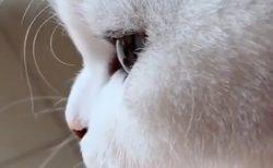 【動画】めちゃ美人な猫の横顔が話題「めちゃくちゃカワイイ!」