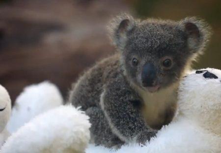 大火災が鎮火した豪州でコアラのベビーラッシュ。最大10億匹の野生動物が被害