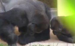 【親近感w】小さなイモムシを真剣に観察するゴリラの親子が話題
