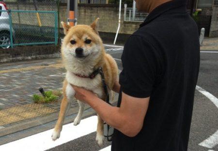 【柴】お寺の番犬、仁王立ちで運ばれる様子が最高に可愛い!