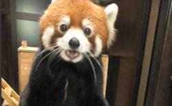 【着ぐるみ感w】足で立ちカメラ目線で体重計に乗るレッサーパンダが話題(・∀・)