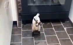 「呼んだ?!」オーブンの下から出てきて尻尾ふりまくるヤギがめちゃ可愛い!