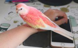 【鳥】息をのむほど美しい‥ピンク色のインコが話題(・∀・)