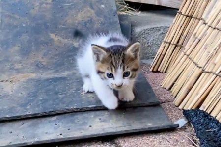 【動画】よちよち歩きの子猫がひたすら可愛い動画が話題「子猫って無敵‥」
