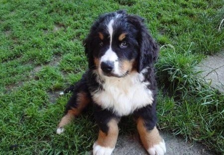 【なでなで】バーニーズが子犬を可愛がる様子が話題「最高すぎる」
