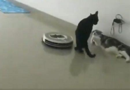 【モテねこ】口説き中に近づいてきたルンバを足ではらう猫!かっこいい!