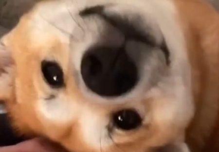 【萌え2秒】目線でなでなでおねだりする犬が超絶かわいいw