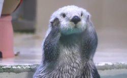 【w】鳥羽水族館の人気ラッコ メイちゃん!顔むにむにがたまらなく可愛い!