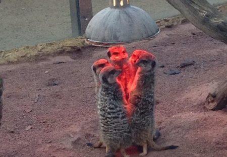 【可愛いw】頭上のライトで暖をとるミーアキャット集団。まるでUFO召喚!