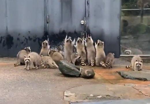 【動画】「きたー!」食事もった飼育員さんの気配に気づいたアライグマ集団が可愛いw