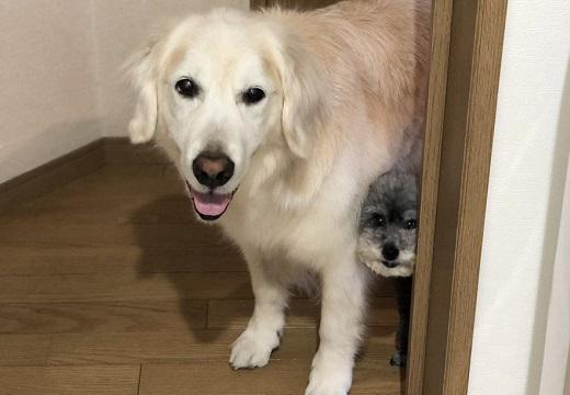 【表情w】「散歩いこ」洗面所にいたら覗いてくる2匹の犬がめちゃ可愛い