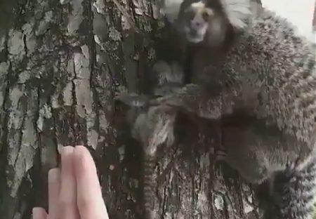 【ぺこぺこ】落ちていた子猿を拾ってママに渡したら‥ママ猿の反応が可愛い