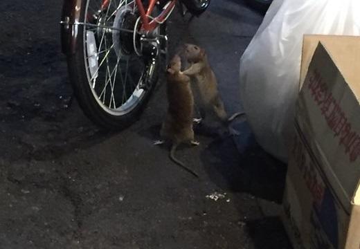 【チュウが如く】歌舞伎町で取っ組み合いのケンカをするネズミが激写される!
