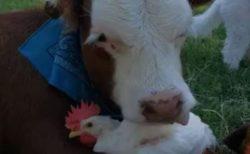 【動画】超仲良しな牛とニワトリ!ニワトリに頬ずりする牛が可愛いすぎるw