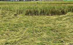 【米の試験区】大型台風が通過した後の稲の様子、品種による違いがすごい
