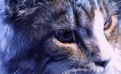 【動画】ドキっとする程イケメンの猫さんが話題「これはビジュアル系‥」