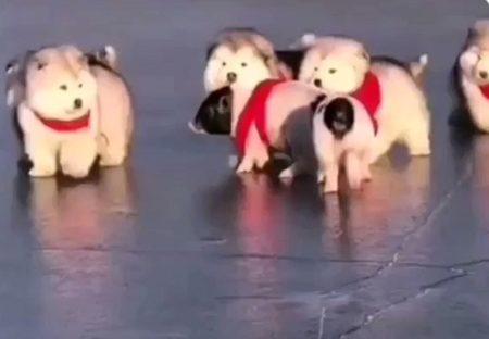 【動画】アラスカンマラミュートの子犬軍団!見てるだけでにやけちゃうw