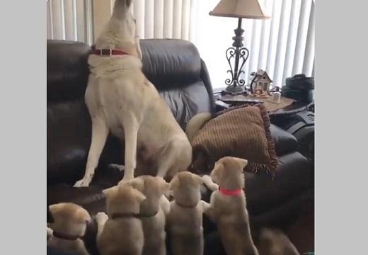 【w】張り切って遠吠えしてみせる母犬と、凝視する子犬達が話題「ママの眼差し(笑」