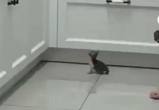 【ぴょこっ】カウンターを狙う子猫のジャンプが愛しすぎる