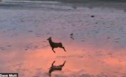 【ルンルン♪】肉食獣に狙われ、わざと飛び跳ねながら逃げる理由が可愛いすぎ