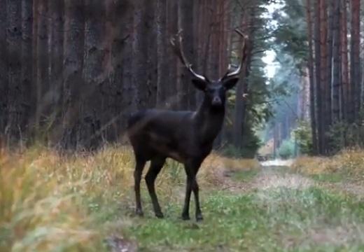 【美しい】ポーランドで発見された漆黒のシカが話題