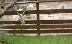 【w】どうしても草を食べたいヤギ、とんでもない荒業に出る!