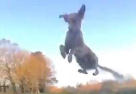 【ぴょーん】尻尾を高速回転させ飛んでく犬が話題「どうなってるの?!」