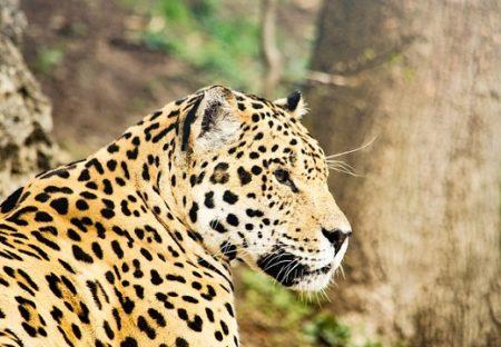 【猛獣】水中の獲物を捕獲するジャガー。潜っていく様子がものすごい!