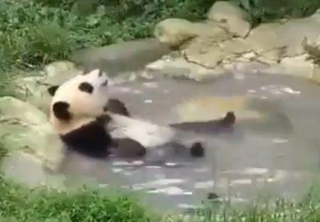 【ご機嫌w】温泉でくつろぐパンダの妙な動きが話題「足が(笑」