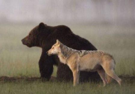 【相棒】毎日いっしょに過ごし、餌も分け合うクマとオオカミが素敵すぎる