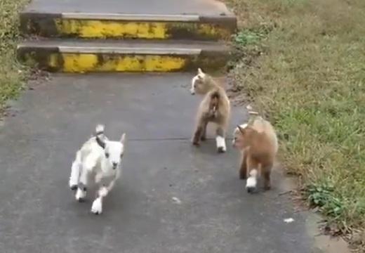 【ピョンピョン】楽しそうにはしゃぐ3匹の子ヤギが無条件に可愛い!