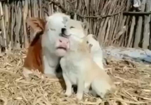 【動画】仲良しの犬と牛、幸せそうな表情のふたりが話題(・∀・)