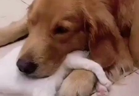 【愛】犬に抱きついて眠る猫と、猫にあごを置いてる犬・・たまらない可愛いさ!
