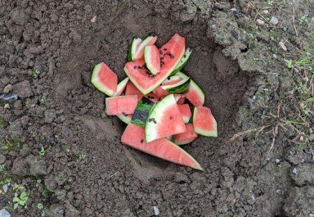 【衝撃】食べたすいかを土に埋めて放置してたら・・