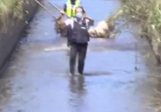 【手前に獣】上段の構えでイノシシを迎え撃つ警察官が話題