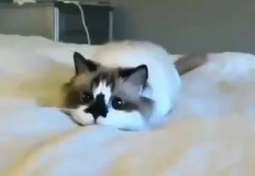 【モゾモゾ】アザラシになりきってる猫、おもちゃみたいな動きが可愛いw