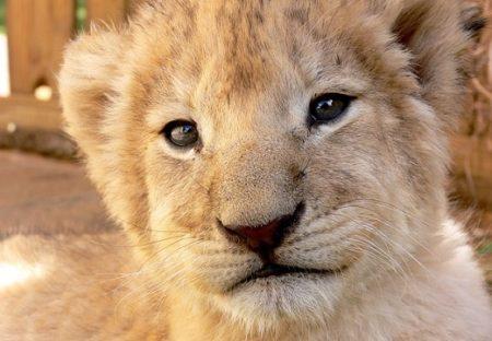 【すごい】永久凍土から44000年前のライオンの赤ちゃんが発見される