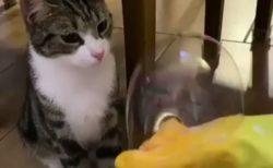 【w】しゃぼん玉を触りたい猫のリアクションが話題「表情がめちゃ可愛い!」