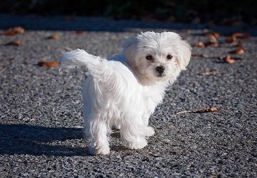 【ルンルン】スキップしながら走ってく犬が最強の可愛いさw