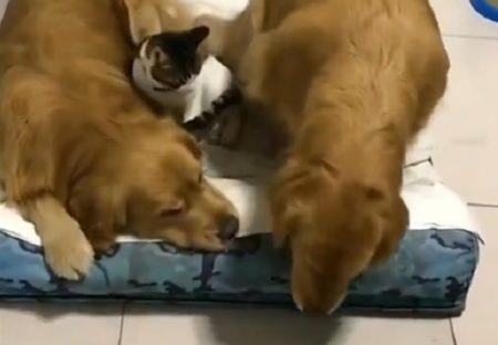 【犬・ネコ・犬】川の字で眠りにつく犬と猫が可愛いすぎるw