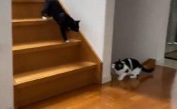 「待ち伏せアターック!」藤あや子さんの豪邸で駆け回る保護猫たちが本当に幸せそう