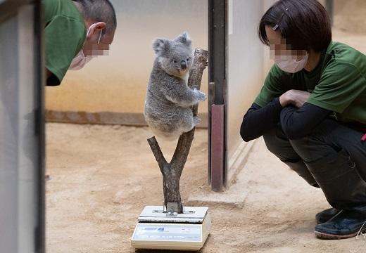 【ちょこん】飼育員さんに見守られながらするコアラの体重測定風景がめちゃ可愛い!