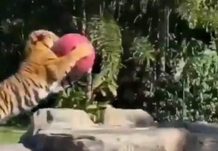 【かっこいい】大喜びでボール遊びするトラがまるで猫(・∀・)