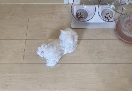 【賢い】お腹すくと皿の前にぬいぐるみを運んだり‥猫の要求の伝え方が愛しすぎるw