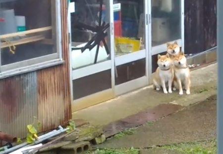【動画】散歩を待ってる3匹の柴犬親子が可愛いすぎるw